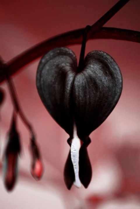 """Black Bleeding Hearts: If you thought this sad plant couldn't get any more jarring, this black color will prove you wrong. For more black plants to """"goth"""" up your garden, click through!"""