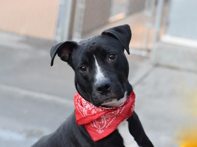 LINCOLN - A1096489 - - Brooklyn  Please Share:TO BE DESTROYED 11/23/16: ****PUBLIC ADOPTABLE**** A volunteer writes: Please let me introduce you to Lincoln, a gorgeous, long-legged gentleman with the joy of a pibble, and the energy and curiosity of a boxer. At 2 years old, Lincoln is still young and loves to run, jump, and play (including attempts at chasing pigeons outside of the care center!). Lincoln seems housetrained (he does his business as soon as we're outside