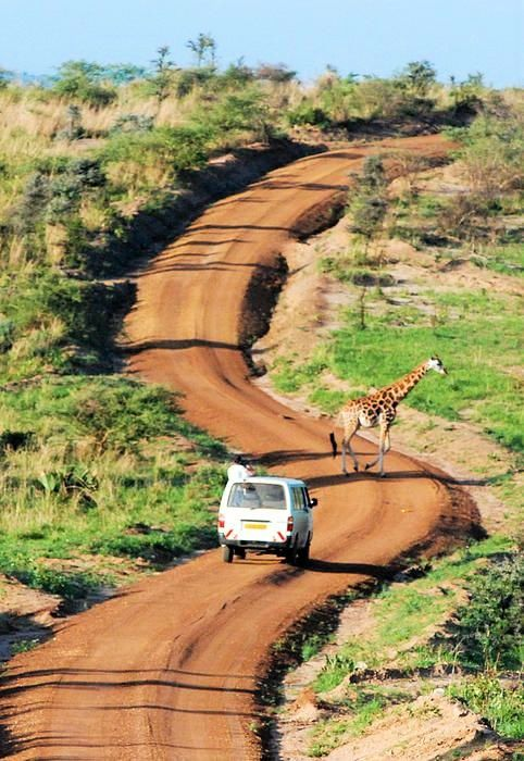 Rothschild Giraffe And Dirt Road Murchison Falls National Park Uganda - Africa