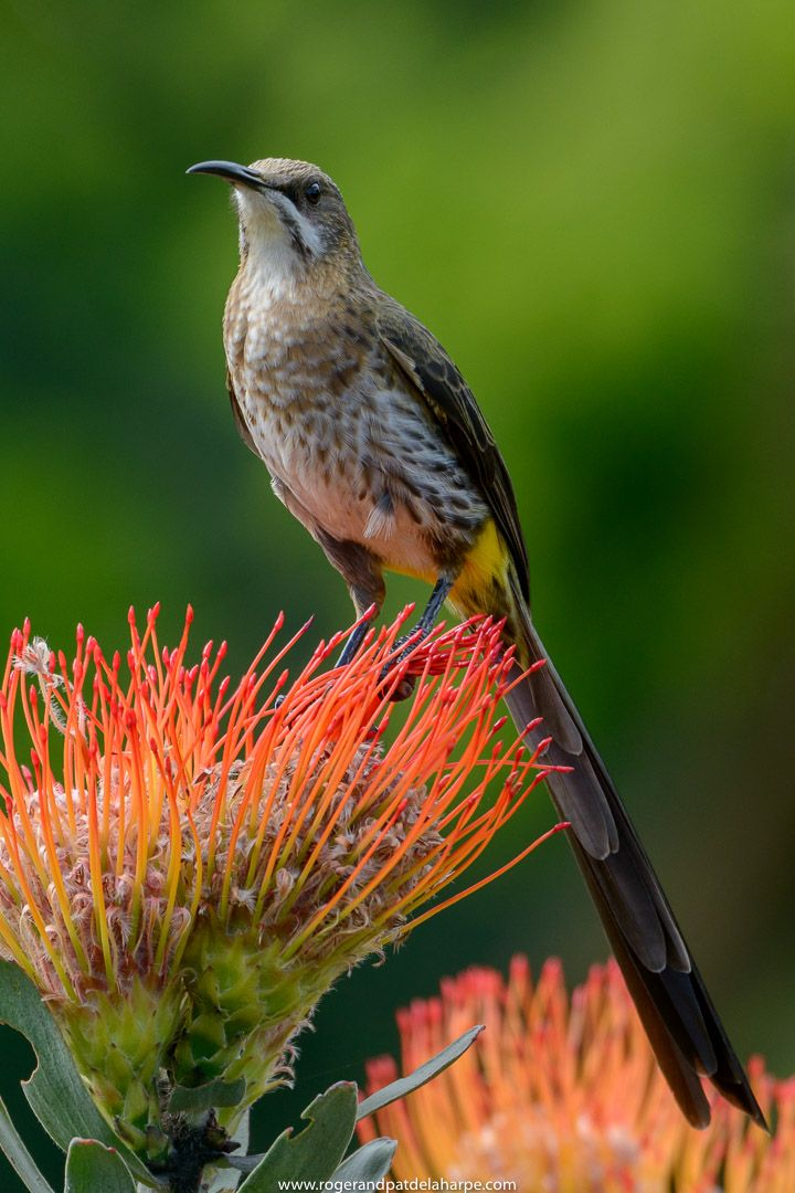 We photographed this Cape Sugarbird at Kirstenbosch Gardens in Cape Town, South Africa. He was very cooperative, posing for us long and often. We shot this on the Nikon D800 on a DX crop and used an AF-S 80-400mm lens hand held.   See more of our work at http://www.rogerandpatdelaharpe.com.