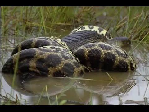 놀라운 야생 동물 공격 - 뱀 대 악어 뱀 승리 - 뱀 대 악어 싸움 - 뱀 공격 악어