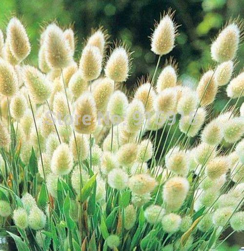Декоративные травы семена, Кролика Хвосты Lagurus Ovatus 100 семена * Бонсай Очаровательны Декоративные травы, Бесплатная доставка!