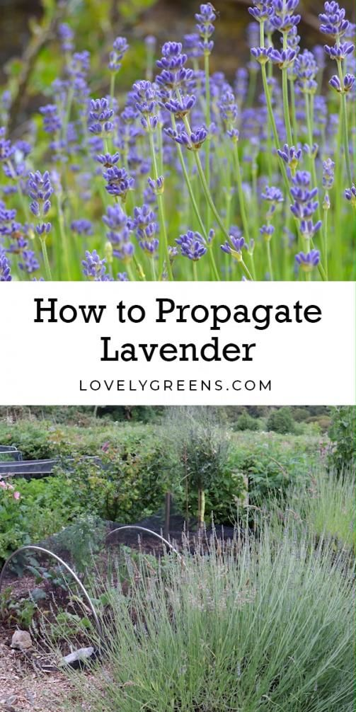 Instructions On How To Propagate Lavender From Cuttings Works For All Types Of Lavender And Cuttings Fr In 2020 Growing Lavender How To Propagate Lavender Garden Care
