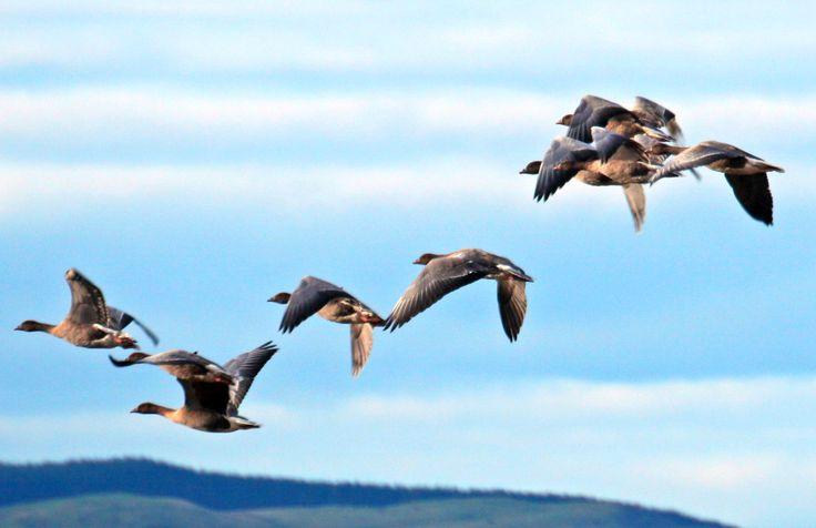 Ingen jagttid på kortnæbbet gås i januar. Et enigt vildtforvaltningsråd har anbefalet, at jagttiden på kortnæbbet gås begrænses, indtil bestanden igen er over 60.000. Bestanden er gået fra 82.000 til 59.000 på to jagtsæsoner ifølge fugletællinger.