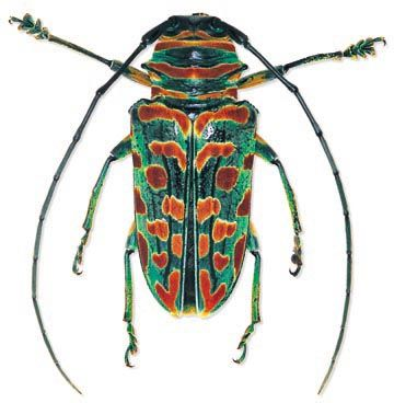 Sternotomis bohemani bohemani Location:South Africa Size:2 cm