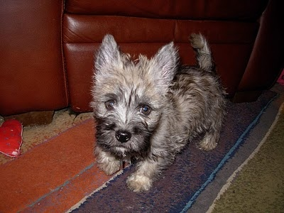 Col. Potter Cairn Rescue Network: Former foster puppy Mirth