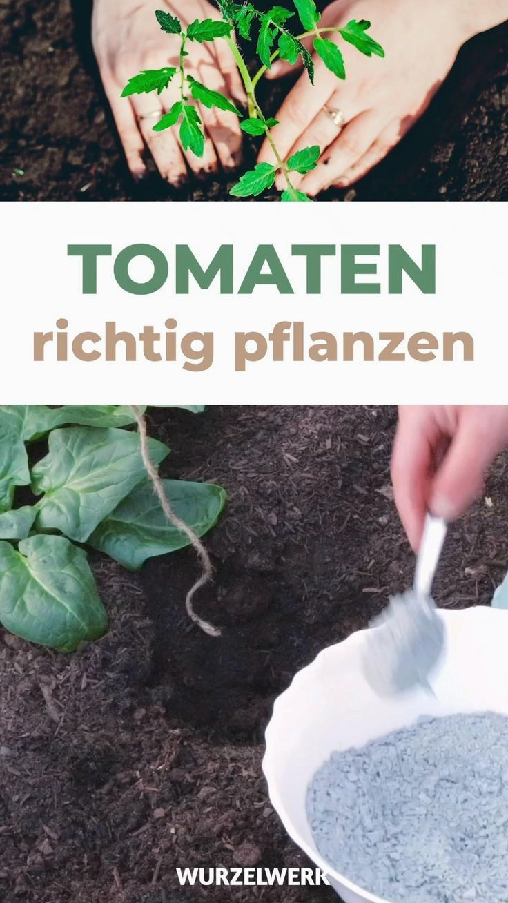 Tomaten Pflanzen Im Freiland Gewachshaus In 2020 Garden Layout Vegetable Gardening For Beginners Organic Gardening