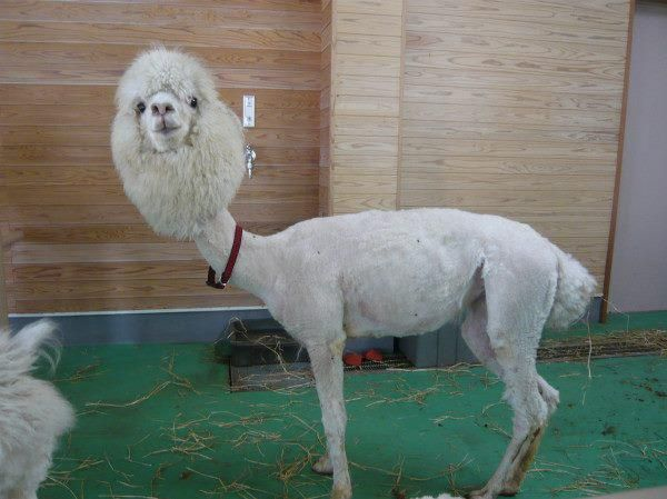 If you're feeling down, here is a picture of a shaved llama.