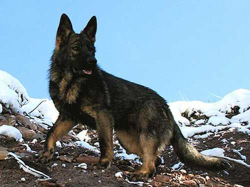 This guide to DDR shepherds will look at some of the important topics regarding the breed in order to offer more insight for GSD lovers that are less familiar with this type. We will look at the history of the breed, its decline, the desire to keep breeding them and their current status in the GSD world.