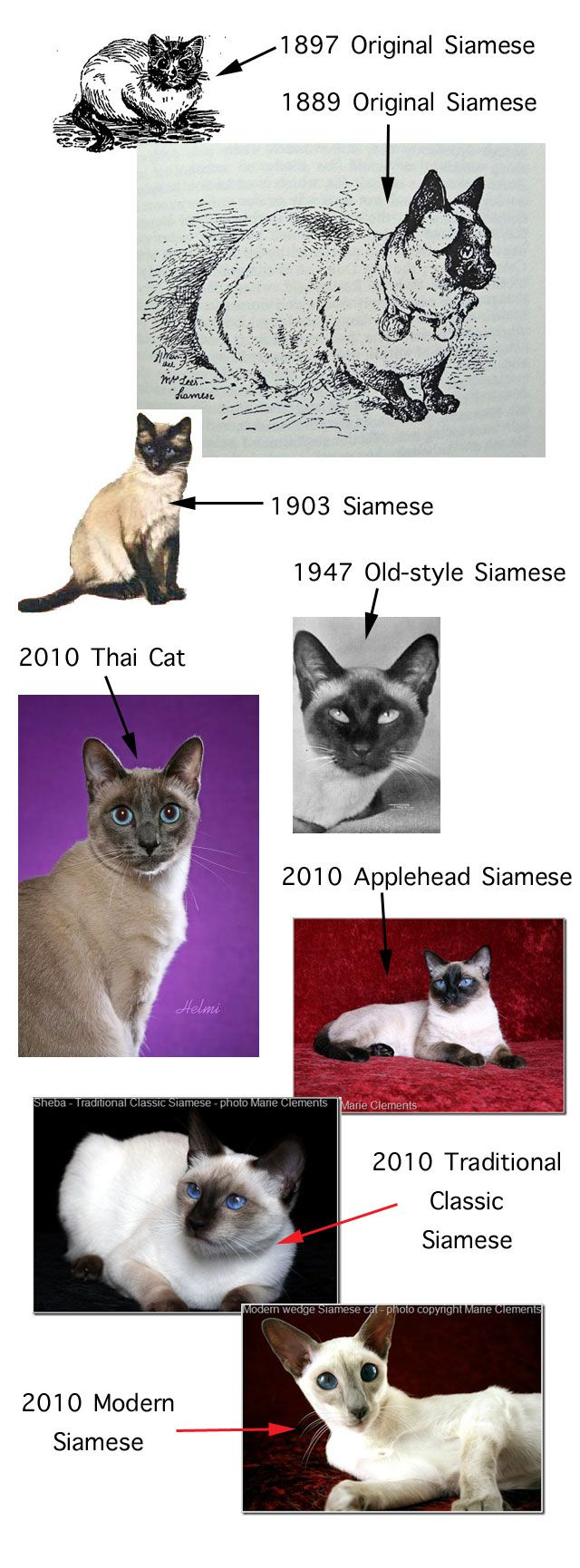 Siamese cat types--- ()()  1903 Siamese-1947-old style Siamese.2010 Thai Cat + more ()()
