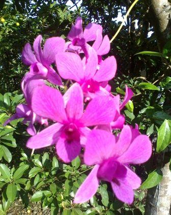 Bunga Anggrek Ungu Bergantung di Pohon