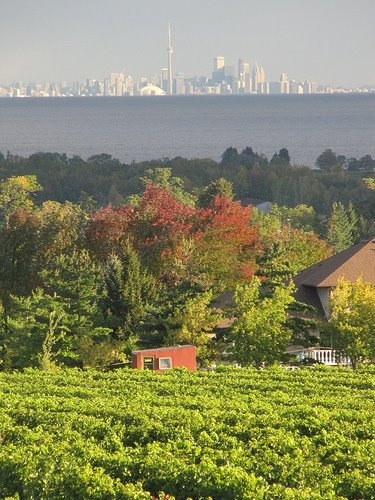 The view of Toronto's skyline from Rennie Estate Wines in Niagara - how is that for a the good life!
