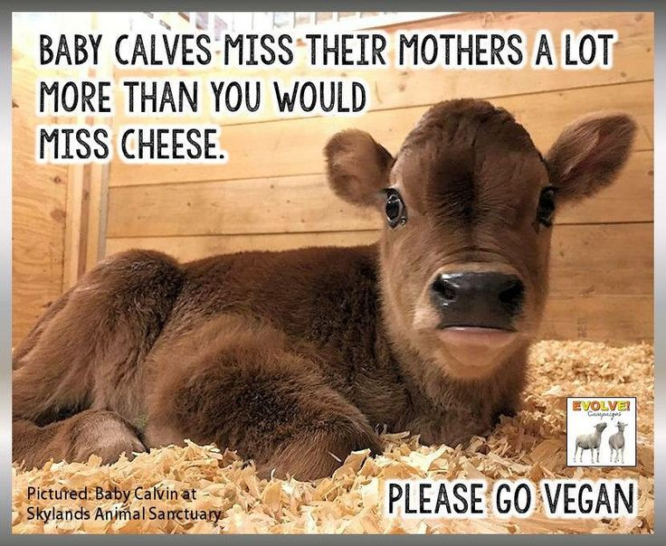 baby calves miss their mothers a lot more than you would miss cheese, reason to ditch dairy; please go #vegan