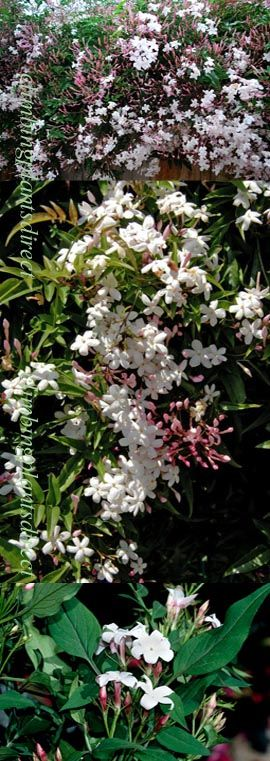 +Jasmine+%27Officinale%27+%2D+HARDY+PERENNIAL+CLIMBER%2D+HEAVENLY+SCENTED+WHITE+FLOWERS%2E+This+Hardy+Perennial+Climber+has+been+container+grown+so+can+be+planted+at+any+time+of+year%2E