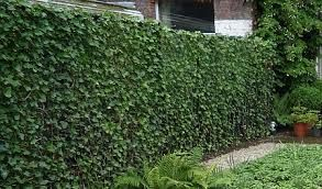 hedera helix haag - Google Search