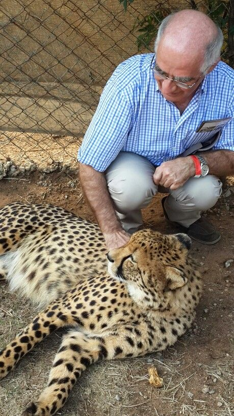Taste your fear by interacting with the 2 years old cheetah
