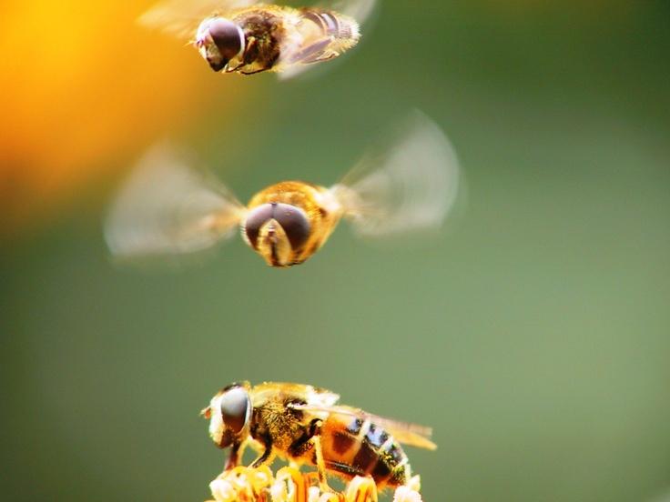 Dit is een gelukstreffer qua foto! In de rij voor die heerlijke bloem! Insecten te over in de tuin.