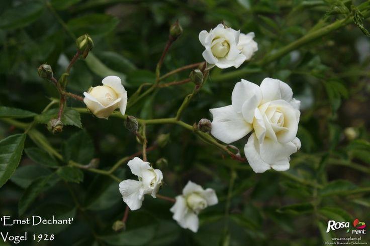 'Ernst Dechant' Rose Photo