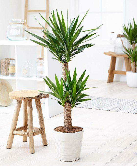 Die besten 25 yucca palme ideen auf pinterest yucca for Yucca wohnzimmer