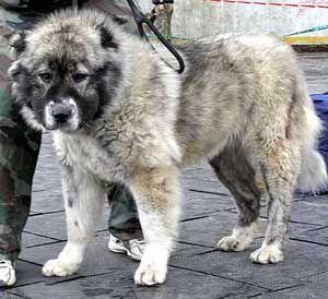 НЕЛЯ ШОЛОМ АЛЕЙХЕМ, кавказская овчарка