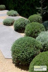 Rosemary cloud pruning by Peter Fudge. Don't limit yourself to Buxus. Pinned by Emily Preece Garden Design.