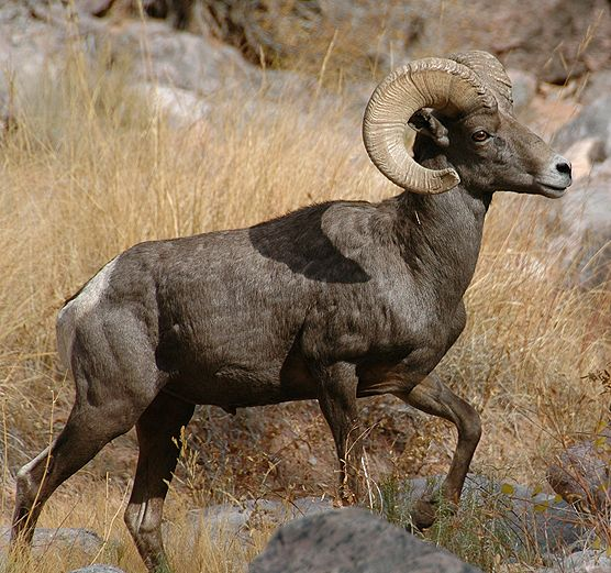 Image result for southern nevada wildlife