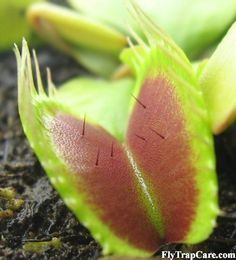 FlyTrapCare.com great info page for venus fly traps.