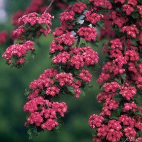 GS9530.0 Pflanzen - Baum & Strauch - Heckenpflanzen - Echter Rotdorn 'Paul´s Scarlet'