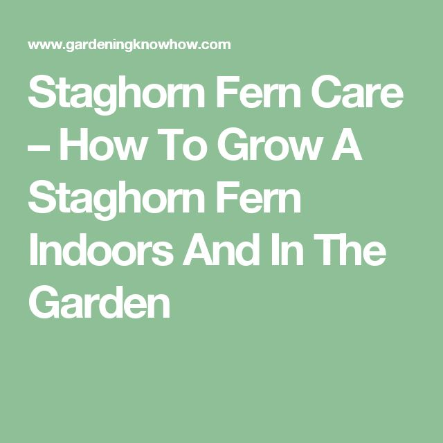 Staghorn Fern Care – How To Grow A Staghorn Fern Indoors And In The Garden