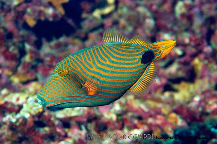 Striped Triggerfish, Bunaken Island (North Sulawesi, Indonesia)