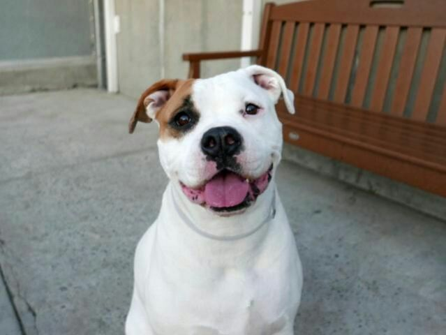 LEXI - A1113573 - - Brooklyn  TO BE DESTROYED 06/07/17 **HEARTWORM POSITIVE – ON PUBLIC LIST** A volunteer writes: We've had some dreary days in NYC recently…but not so with Lexi around! This chunky lady just radiates love and positive energy and is SO sweet it hurts. She is big and chunky, but hasn't been hard to walk on leash. She does tend to jump up when she's excited (and she LOVES people so meeting new ones is exciting!!) but I haven&#821