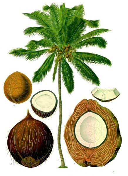 coconut illustration: Fat Burning Food, Coconutoil, Benefits Of, Trees Of Life, Coconut Milk, Health Benefits, Coconut Oil Benefits, Coconut Flour, Coconut Palms