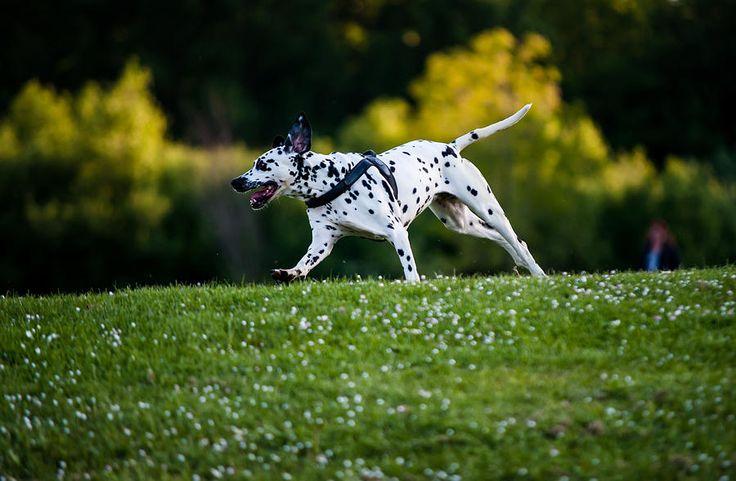 Dalmatian 4 Photograph by Martin  FF