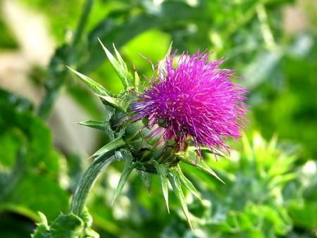 Milk Thistle (Silybum marianum) Herbal Monograph | Brett Elliott