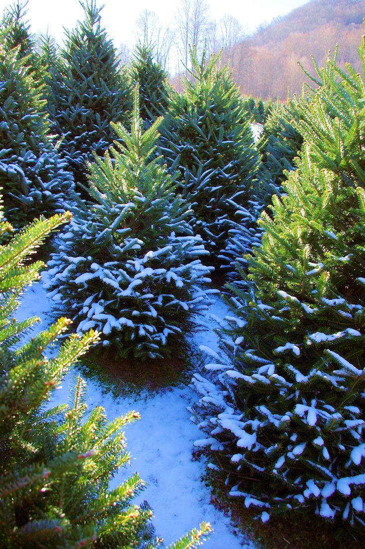 Best 25+ Christmas Tree Farms Ideas On Pinterest ...