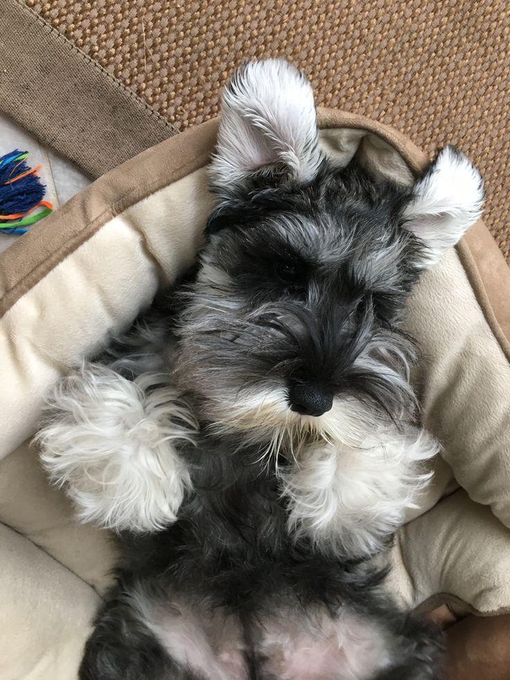 Best 25 Schnauzer Puppies Ideas On Pinterest Mini