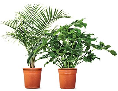 """I picked up a 10"""" Cat Palm (pictured on left) at Aldi today for $6.99 (marked down from $9.99). It makes an ideal house plant, but it'll go outside this summer. Grows to 24"""" tall. Hardy to 32 degrees fahrenheit. Keep the soil consistently moist and place in well lit room during daylight hours."""