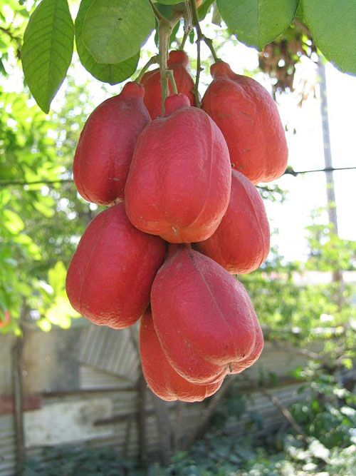 Ackee (Blighia sapida) is native to tropical West Africa ...