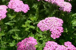 It is necessary to prune the plant to its stem 1-2 inches above the soil, after the first frost. If you have a large cluster of yarrow plants flourishing for some years, you will need to divide and replant them every 3-4 years. Transplant each plant, roots and flowers intact to a different location and separate them from the cluster.