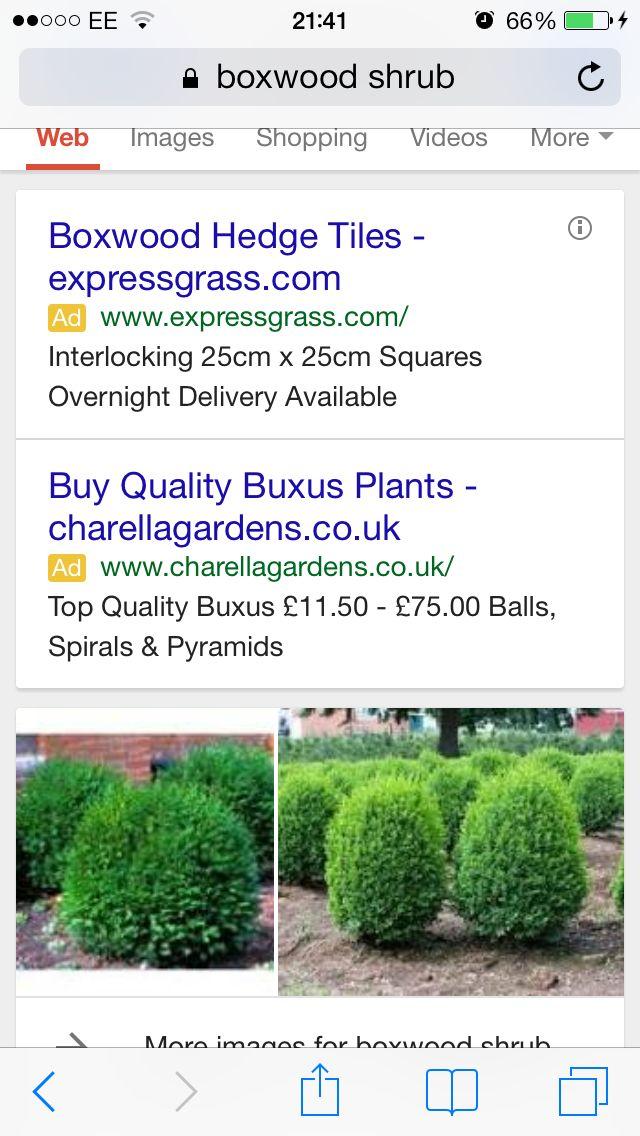 Box wood shrub