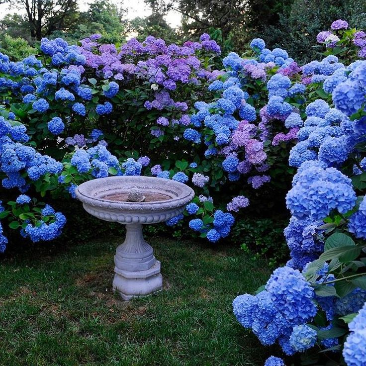 "Gardens at First Light: ""Heavenly hydrangeas…"""