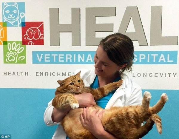 マンガかよ!アメリカのデブ猫、腹筋ダイエットで10キロも減量 : 秒刊SUNDAY | 最新の面白ニュースサイト