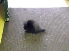 Baby Porcupine chases his tail
