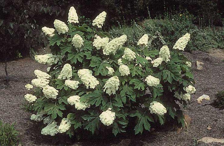 Hydrangea quercifolia Ice Crystal - Гортензия дуболистная Ice Crystal гортензия дуболистная отлично украсит Ваш участок благодаря своим декоративным листьям. Куст до 2 м высотой, листья пятилопастные, внешне напоминают листья дуба, осенью приобретают темно-пурпуровую окраску. Цветки плодущие и стерильные, белые, собраны в метелки 10 см длиной, распускаются в июне–сентябре.