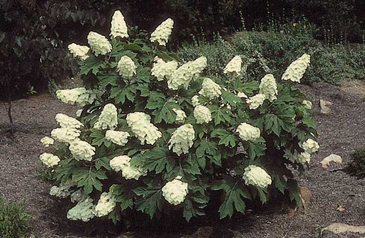 Hydrangea quercifolia ice crystal for Hydrangea quercifolia