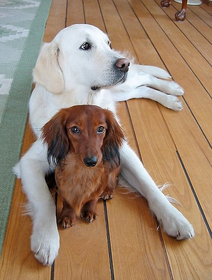 This doxie has a bodyguard...or is the doxie the bodyguard???