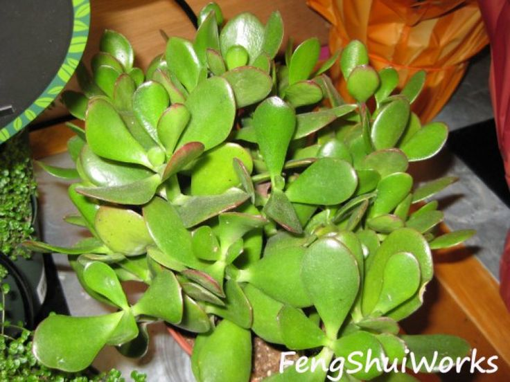 Populaire The 25+ best Feng shui jade plant ideas on Pinterest | Feng shui  AX91