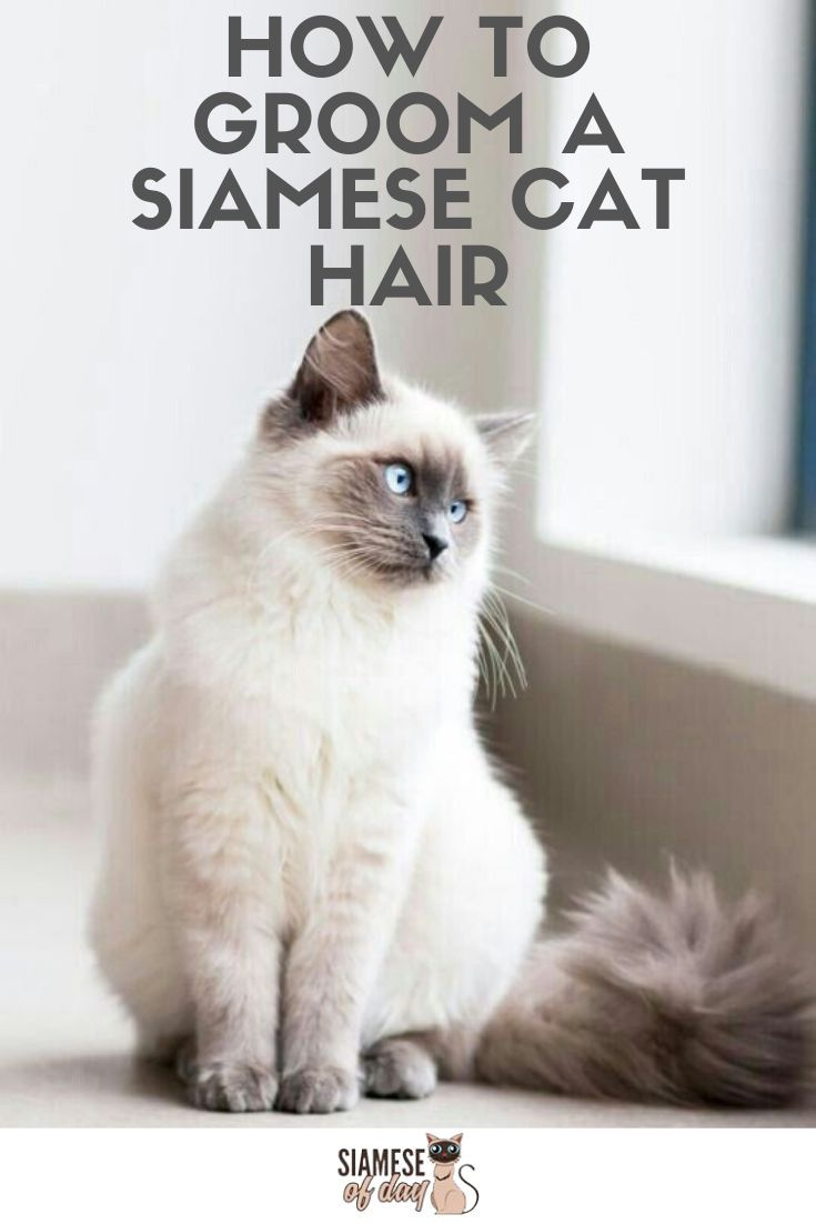 Haired Grooming Tips For Siamese Cat In 2020 With Images Siamese Cats Cats Cat Personalities