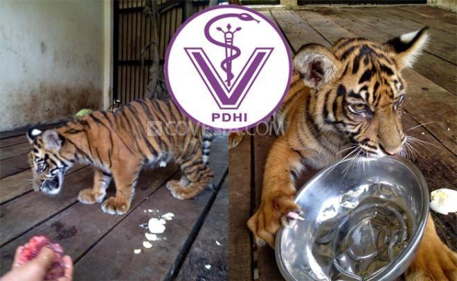 Covesia.com - Terkait kematian empat anak harimau yang dipelihara di Taman Margasatwa dan Budaya Kinantan (TMSBK) Bukittinggi, Sumatera Barat (dua harimau...