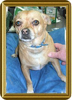 Metairie, LA - Pug/Chihuahua Mix. Meet PEANUT, a dog for adoption. http://www.adoptapet.com/pet/11539230-metairie-louisiana-pug-mix